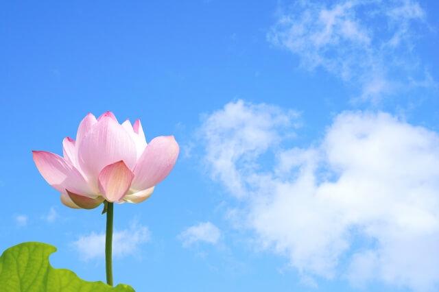 青空の下にある蓮の花